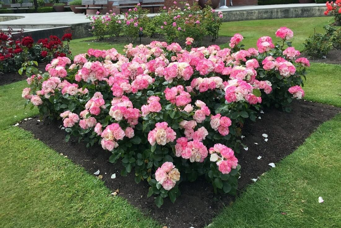 Моноклумба из роз