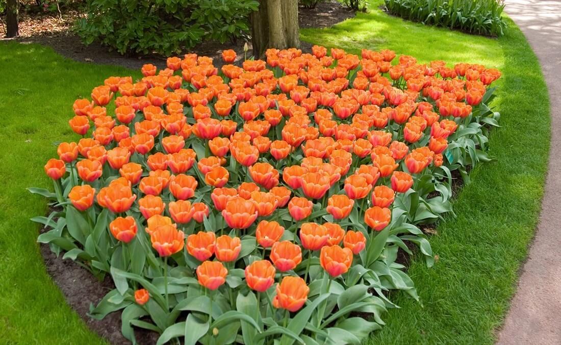 Моноклумба с тюльпанами