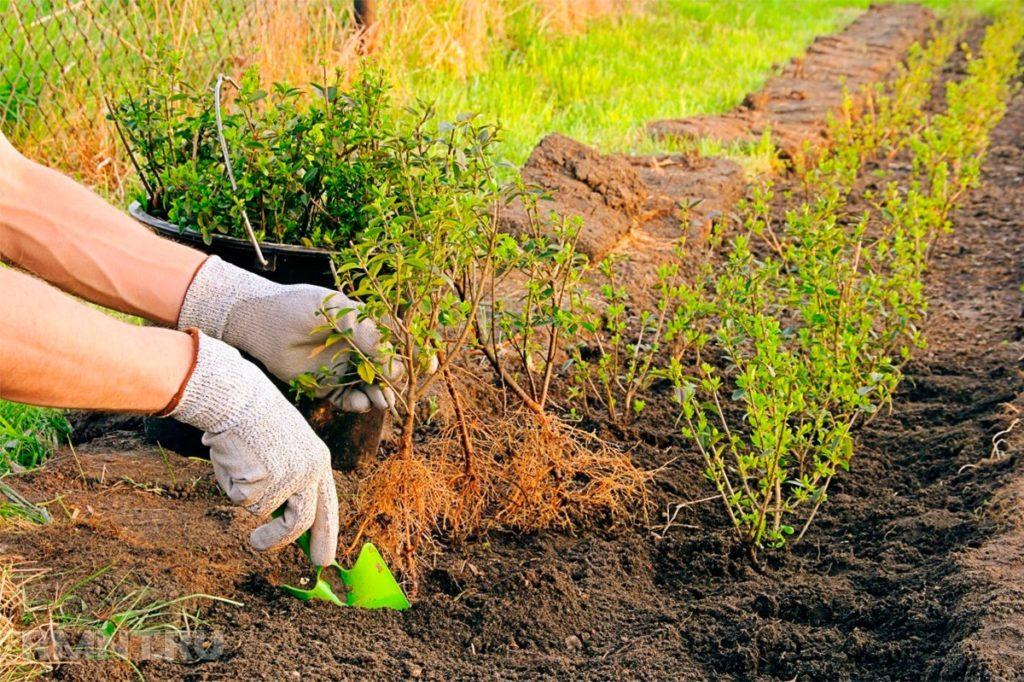 Живая изгородь быстрорастущая
